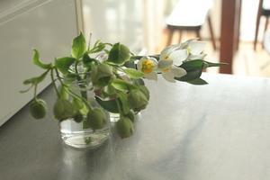 原種のチューリップ・ポリクローム - はぐくむキッチン