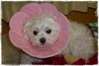マルチーズのリリィちゃん♪ - ハンドメイドのエリザベスカラー ★☆お花エリカラ☆★