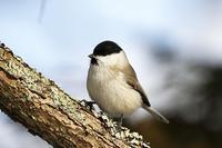 2017北の大地:カラ類 - 武蔵野の野鳥