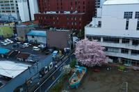 『桜咲く』 - 嫁と息子と日常のなにげない風景と・・・。