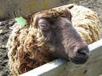 牧場の羊たち - つれづれ日記