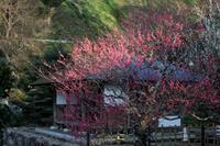 蓮華寺池公園の梅がきれいに咲いています。 - 蓮華寺池の隣5