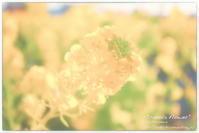 """canola flower"" - ~まきち写真工房~"