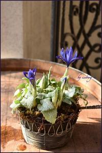 ミニアイリスが咲いた♪ - 小さな庭 2