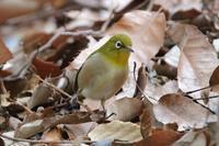 アオバトが「オ〜ア〜オ〜」 ※アオバトの写真はなし - 野鳥写真日記 自分用アーカイブズ
