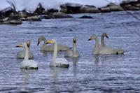 """オオハクチョウ(大白鳥)/Whooper swan - 「生き物たちに乾杯」 第3巻 """"A Toast to Wildlife!"""" vol. 3"""