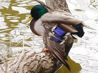 坂田ヶ池の野鳥たち(ミコアイサ、オシドリ、マガモ、ジョウビタキ、モズ) - 花と葉っぱ