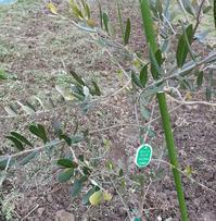 オリーブを植えました - せらぴすとDiary