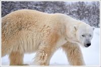 ほっきょくぐまのいちにち 2017/02/26 - メタのマクロ視点な奇跡なんて白熊の為