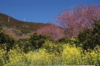雪割桜見物 - おらんくの自然満喫