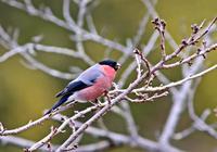 ・ウソ - 鳥見撮り