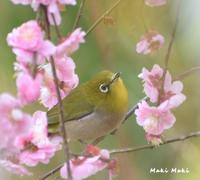 ウメジロを上からパシャ。 - Season of petal