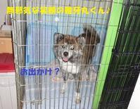 赤虎くん改め「雅牙丸(ががまる)」くんのご紹介♪♪(その2) - もももの部屋(家族を待っている保護犬たちと我家の愛犬のブログです)
