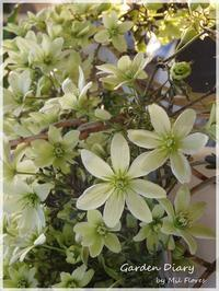 Clematis Petriei and Moon beam - Garden Diary