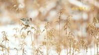 ベニヒワ - 北の野鳥たち