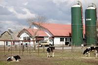 【マザー牧場】牛と菜の花 - うろ子とカメラ。