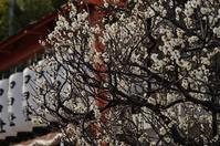 難波熊野神社の梅 @尼崎 - たんぶーらんの戯言