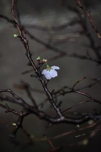 6 桜雛祭  [ 雨水 草木萌動 ] - 四 番 目 の 猫 Tales of Wales 72 Seasons - every day is a present -