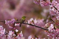 桜にメジロ - 彩りの軌跡