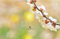 春の香りに満ちています - お花びより