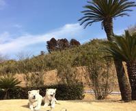 春風に誘われて - 秋田犬「大和と飛鳥丸」の日々Ⅱ