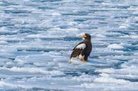 冬の北海道旅行その19 (温根元漁港 オオワシ、オジロワシ、ハギマシコ) - 夫婦でバードウォッチング