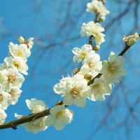 梅の花散歩道 - ライ日記