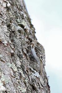 2017北の大地:キバシリ - 武蔵野の野鳥