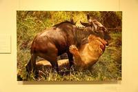 自然写真家と、内科臨床医。二つの顔を持つ井上冬彦氏が30年にわたり、東アフリカで撮り続けた野生動物の写真展 - 旅プラスの日記