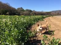 花咲く丘にモーモーちゃんがいっぱい - ちょっと田舎暮しCalifornia