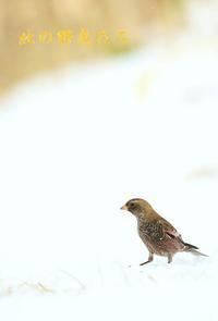 ハギマシコ - 北の野鳥たち
