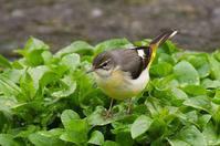 水草の上のキセキレイ - 武蔵野散歩Ⅱ