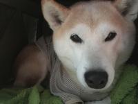 思い煩いの2月はすぎて - 柴犬さくら、北国に生きる