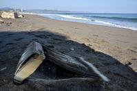 ヒゲクジラ亜目の鯨ひげ - こんなものを見た2