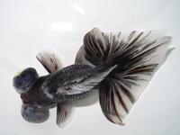 3月2日新着金魚のご紹介です。(T/M済) - フルタニ金魚倶楽部blog