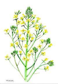 ブロッコリーの花 - がちゃぴん秀子の日記