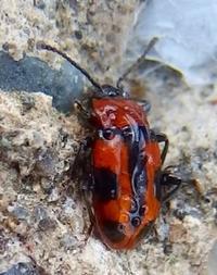 『亀虫と甲虫のツーショット』 - 自然感察 *Nature * feeling*