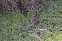 通りすがりにトラツグミ - 野鳥写真日記 自分用アーカイブズ