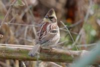 連日のトラツグミ発見 - 野鳥写真日記 自分用アーカイブズ