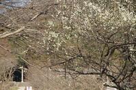 桜井市 桧原神社参道の梅 - ぶらり記録(写真) 奈良・大阪・・・