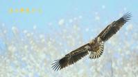 オジロワシ - 北の野鳥たち