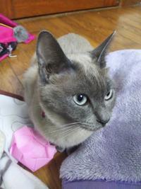 フローラ 1歳 - MINKWIN Cattery &Pretty Aki