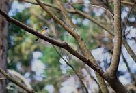 身近な幸せの青い鳥 - 蓮華寺池の隣5