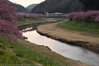 伊豆 第19回みなみの桜と菜の花まつり 河津桜 - photograph3