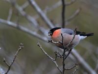 ウソ - 『彩の国ピンボケ野鳥写真館』