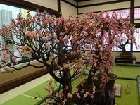 大阪天満宮の盆梅展 - 彩の気まぐれ写真