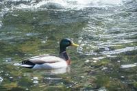 水上のDuck - 気ままにお散歩