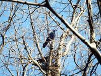 2個目のカラスの巣を発見 - 多摩平お散歩日記
