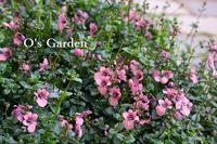 多彩な入荷 ♪ - O's garden へ ようこそ~ ♪