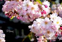 春ですね✿ 桜の風水お茶会のお知らせ - Miwaの優しく楽しく☆
